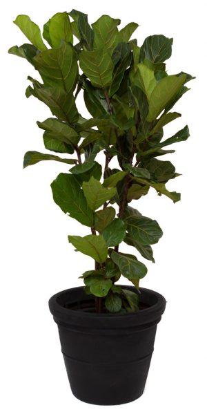 Ficus Lyrata - 1.5m-0
