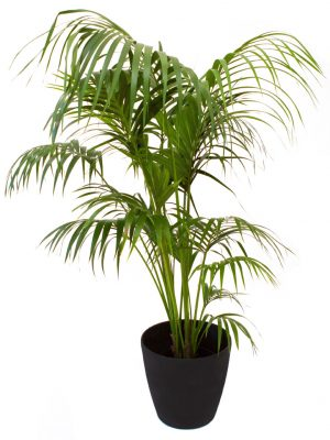 Kentia Palm - 2m-0