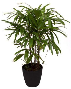 Raphis Palm - 1.2m-0